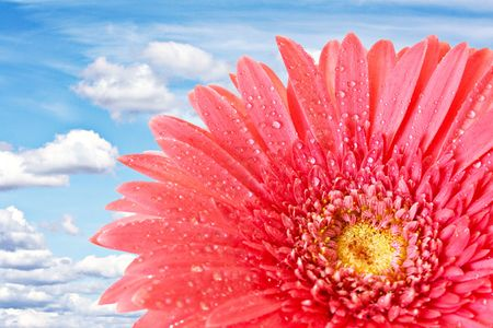 Red gerbera on clouds background photo