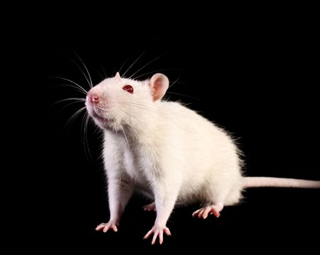 mice: Young white rat looking up on black background
