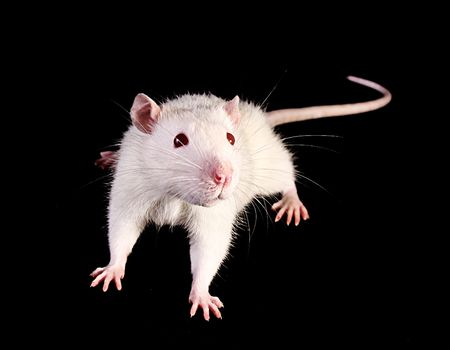 mouse animal: Young white rat looking up on black background