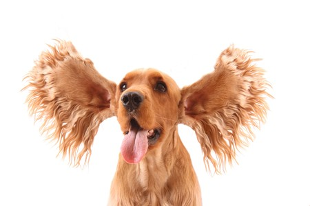 animal tongue: Cocker spaniel with flying ears isolated on white. Very expressive dog!
