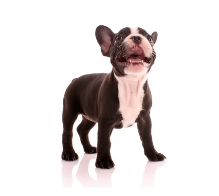 Young bulldog isolated on white photo