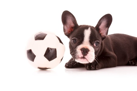 Young bulldog with ball isolated on white photo