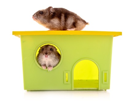 hamsters: Two young hamsters with house  isolated on white Stock Photo