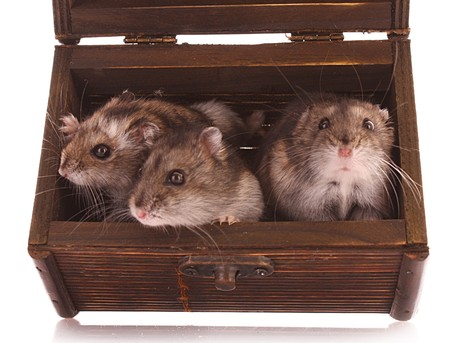 hamsters: Hamsters in box