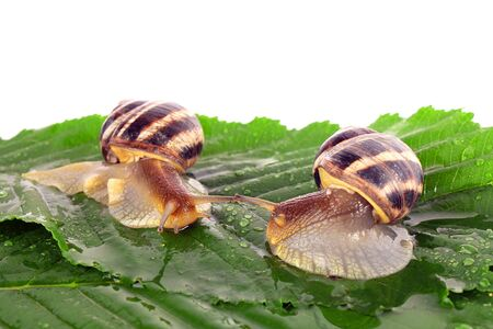 Two snails on leaf over white background Stock Photo - 8129166