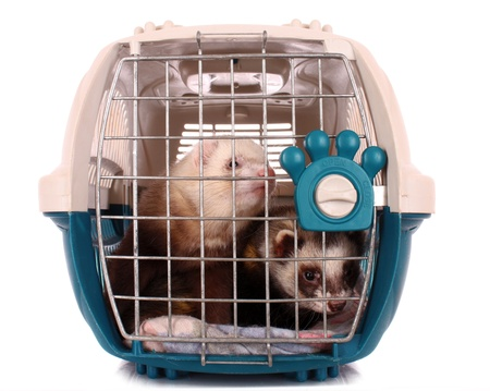 Two Ferrets in cage isolated on white photo