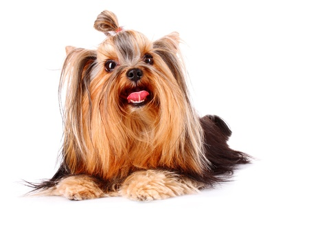 Yorkshire Terrier puppy isolated on white Stock Photo - 9142665