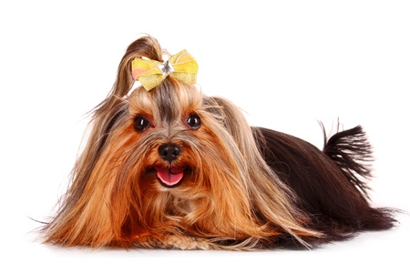 Yorkshire Terrier puppy isolated on white photo
