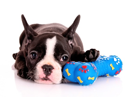 Young bulldog with toy isolated on white photo