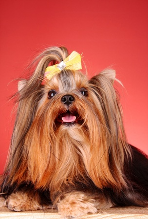 Yorkshire Terrier puppy on red background Stock Photo - 9150063