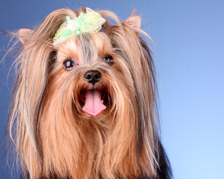 Yorkshire Terrier puppy on blue background photo