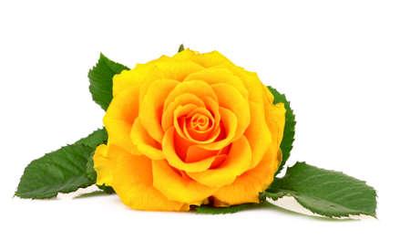 Yellow rose closeup isolated on white photo