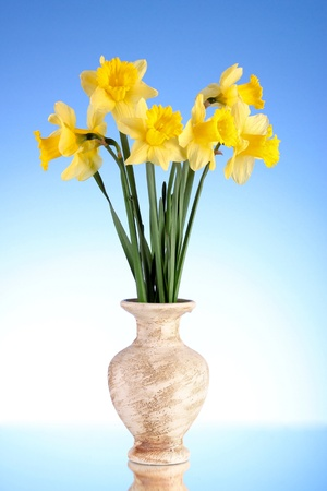 Yellow daffodils in a vase on a blue background photo