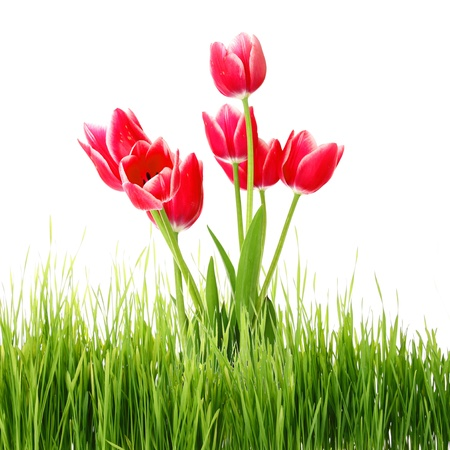 Red tulips in green grass isolated on white photo