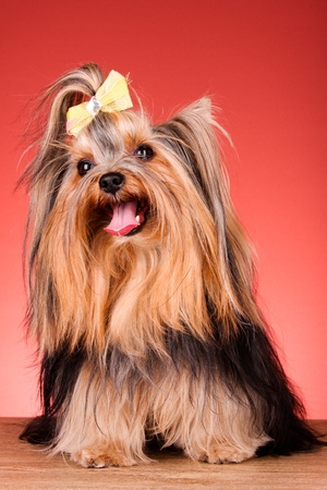 Yorkshire Terrier puppy on red background photo