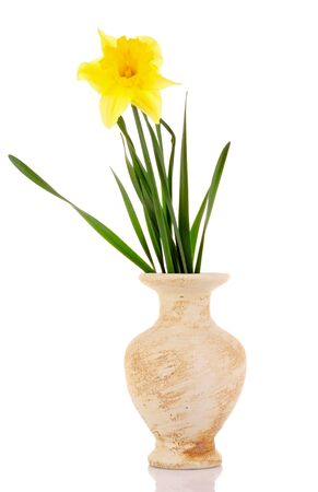 Yellow daffodils in a vase isolated on white photo