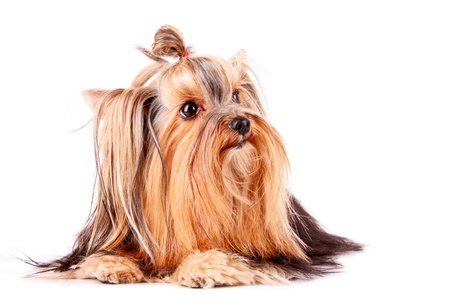 Yorkshire Terrier puppy looking right isolated on white Stock Photo