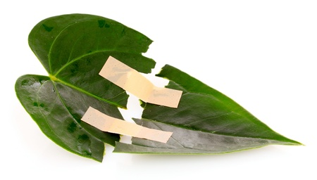 torn green leaf with adhesive plaster isolated on white Stock Photo - 9621028
