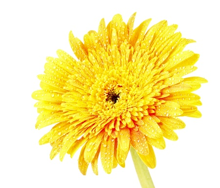 Yellow gerber flower isolated on white