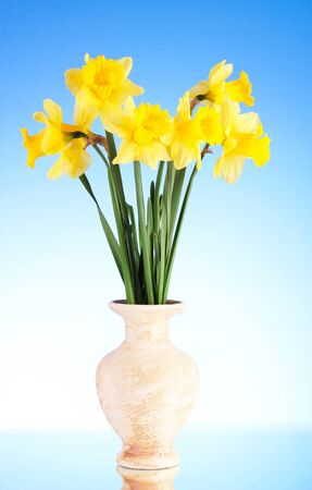 Yellow daffodils in a vase on blue background photo