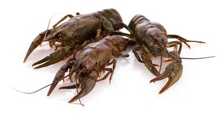 Crayfish isolated on white photo