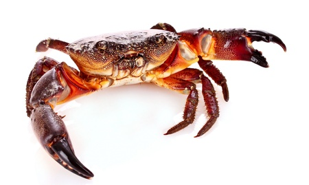 omnivores: Crab isolated on white