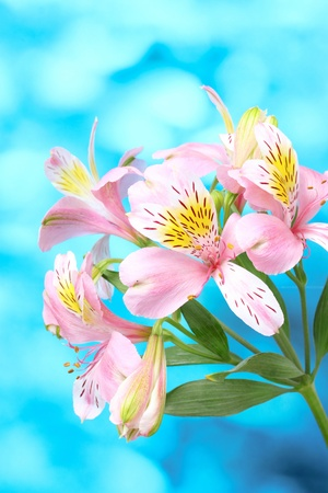 beautiful pink flowers on blue background photo