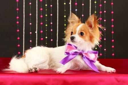 funny little dog on black background photo