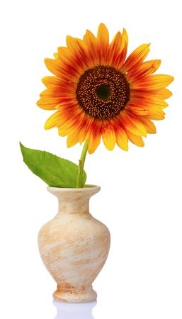 botan: beautiful sunflower in a vase isolated on white