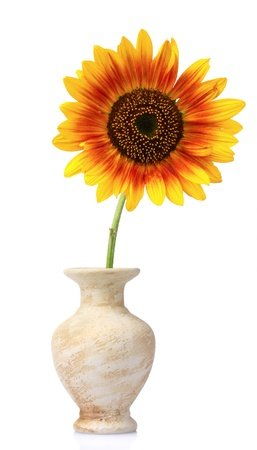 beautiful sunflower in a vase isolated on white photo