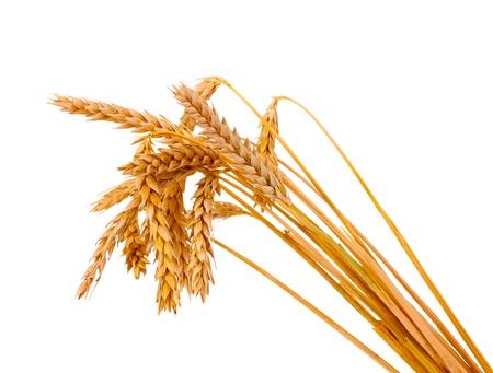 cultivo de trigo: Trigo aislado en blanco Foto de archivo