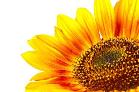 sunflower field: beautiful bright sunflower isolated on white