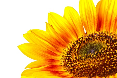 sunflower seeds: hermoso girasol brillante aislado en blanco