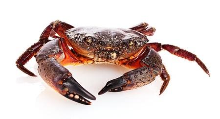 Crab isoliert auf weiß