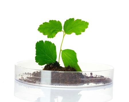 biotecnologia: planta en el laboratorio aislado en blanco