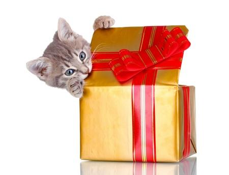 gray cat: Funny kitten in golden gift box isolated on white