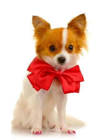 little dog isolated on white
