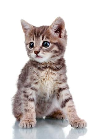 grey tabby: Funny gray kitten isolated on white