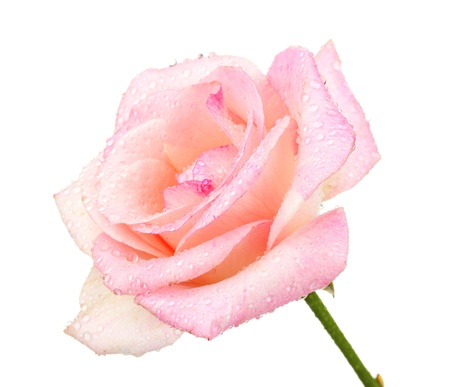 pinks: Beautiful pink rose isolated on white