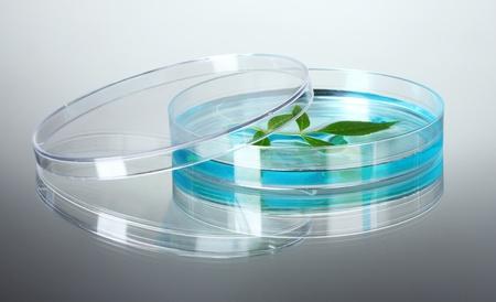 genetically modified: Pianta geneticamente modificata testato in capsula di Petri su sfondo grigio