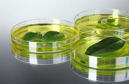 Genetically modified plants tested in petri dishes gray background photo