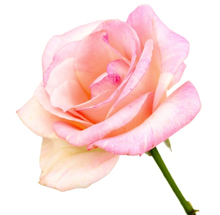 a bud: Beautiful pink rose isolated on white