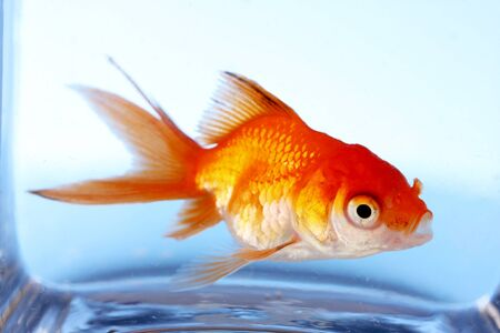 Goldfish closeup in water on blue background Stock Photo - 10754314