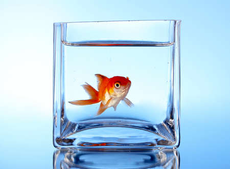 Goldfish in aquarium on blue background photo