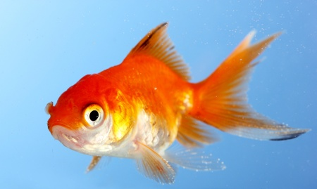 pez dorado: Portarretrato pececito de agua sobre fondo azul Foto de archivo
