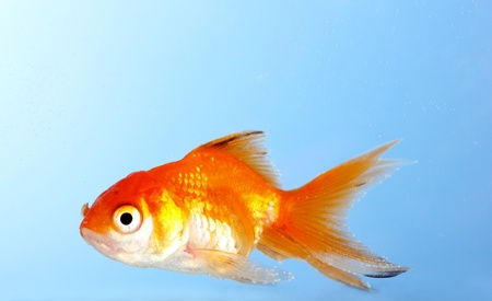 Goldfish closeup in water on blue background Stock Photo