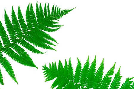 Two green leaves of fern isolated on white photo