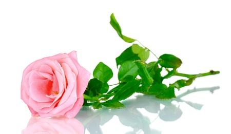 mujer con rosas: Hermosa rosa rosa aisladas en blanco