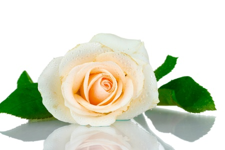 Cream rose with leaves isolated on white photo