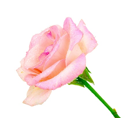 Beautiful pink rose with drops isolated on white photo